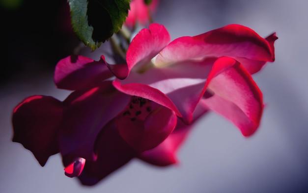 Tea rose 5