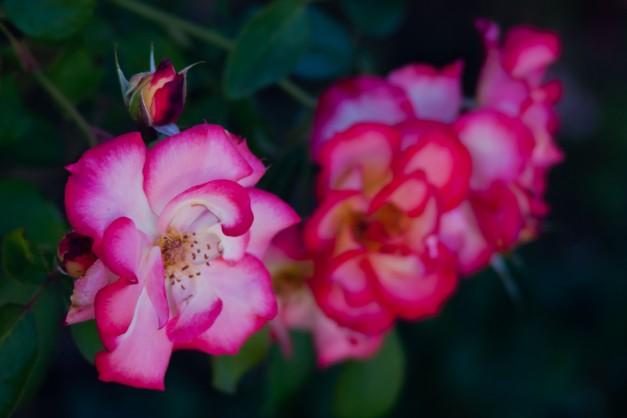 Tea rose 6
