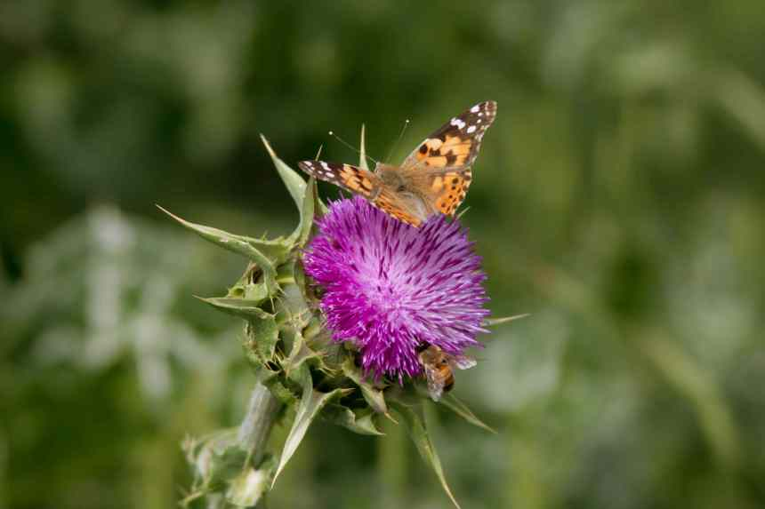 Thistle two bugs 2 low res
