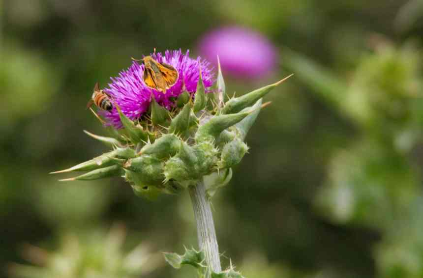 Thistle two bugs 3 low res