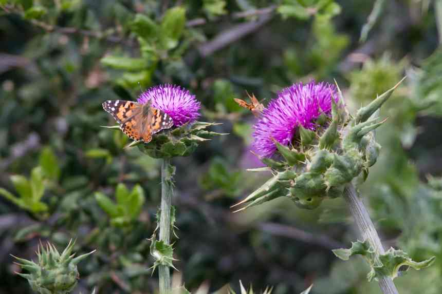 Thistle two bugs low res
