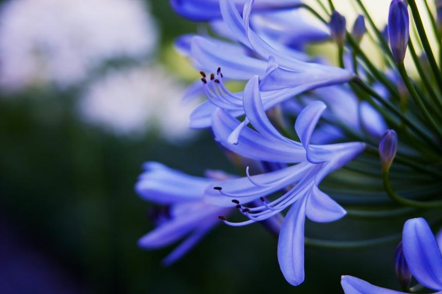 Agapanthus blue 3