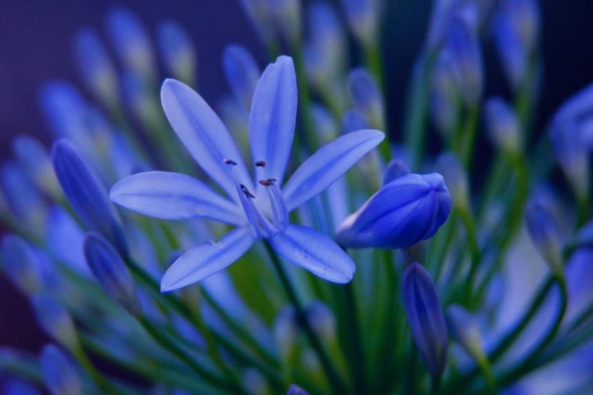 Agapanthus blue 4