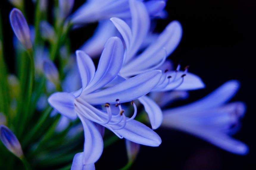 Agapanthus blue 5