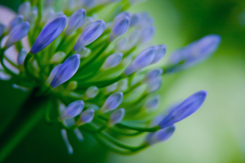 Agapanthus blue buds