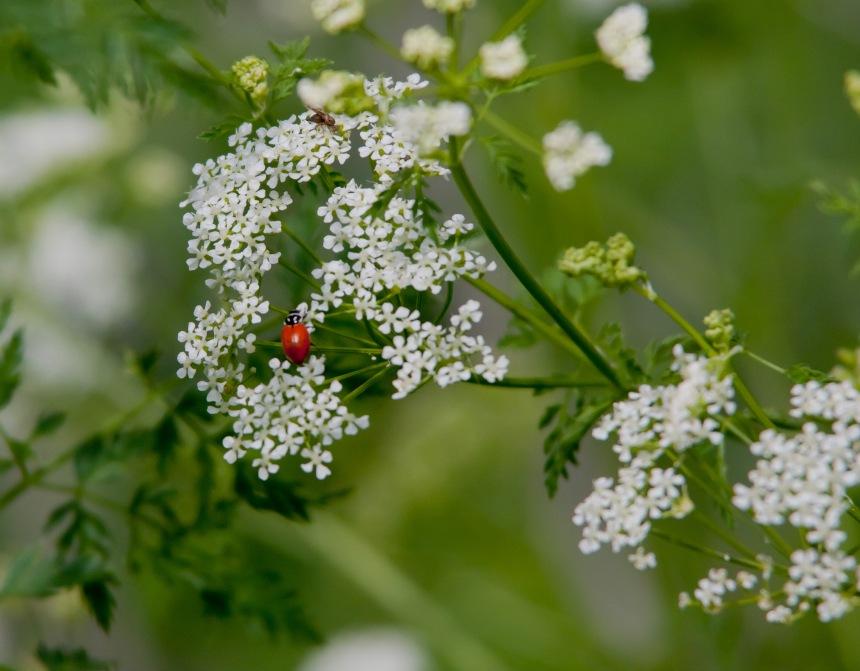Hemlock ladybird 2