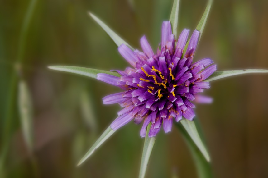 Purple goatsbeard