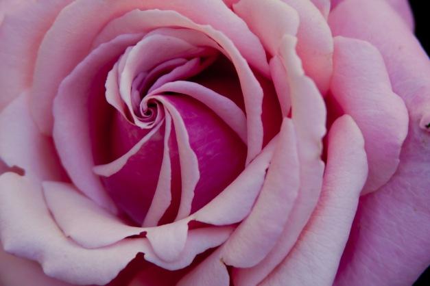 Rose swirl 3