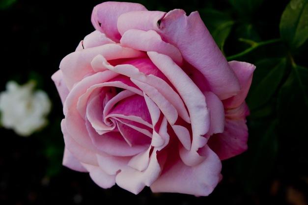 Rose swirl 5