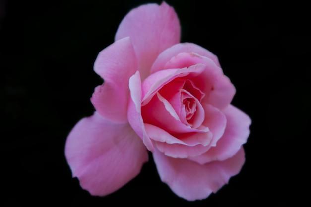Rose single pink on B