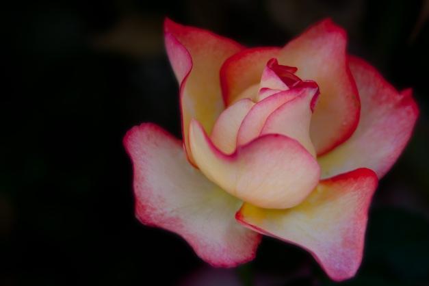 Rose Tea 7