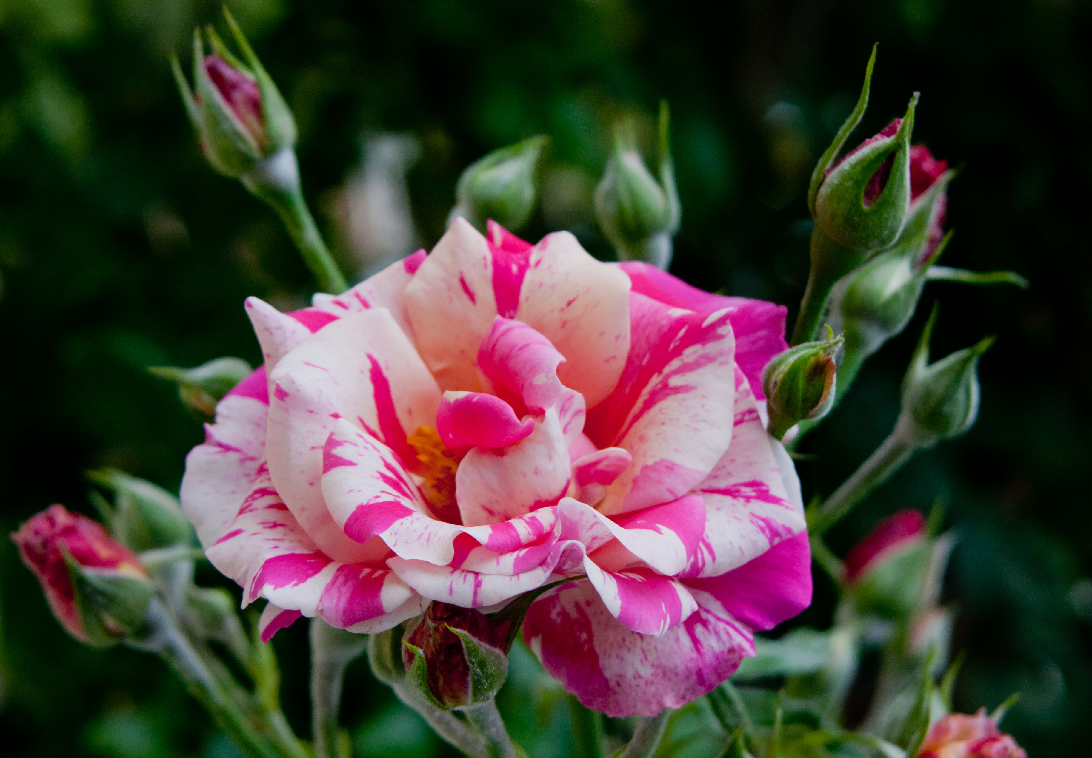 Rosebud radiance | Fables and Flora