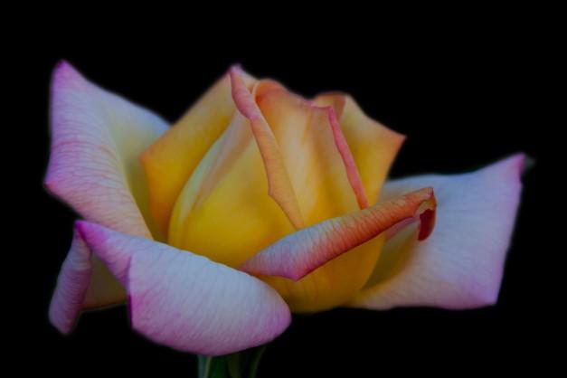 Rose yellow pink