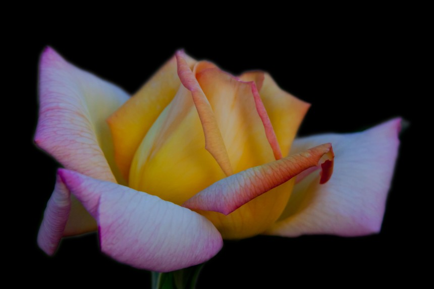 Rose yellow pink