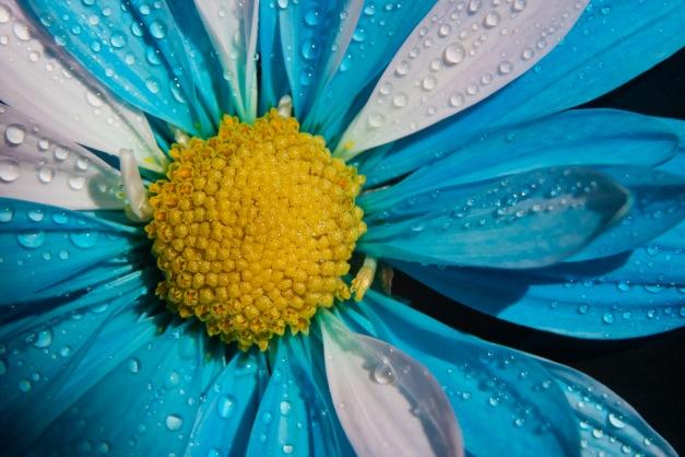 Chrysanthemum blue white