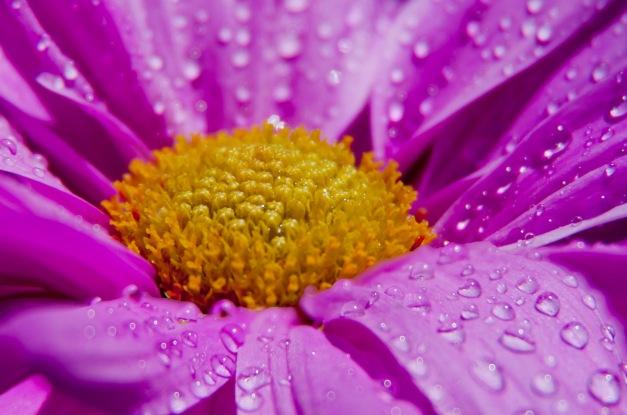 Chrysanthemum pink wet