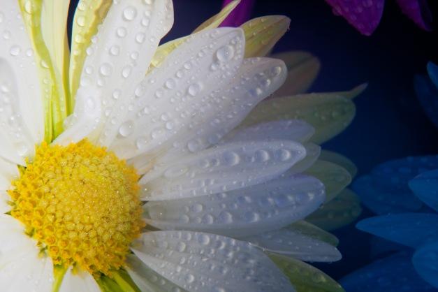 Chrysanthemum white wet