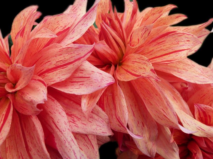 Dahlia orange red