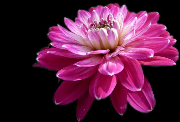 Dahlia pink crop