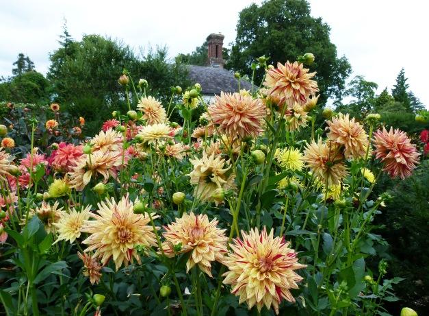 Dahlias garden