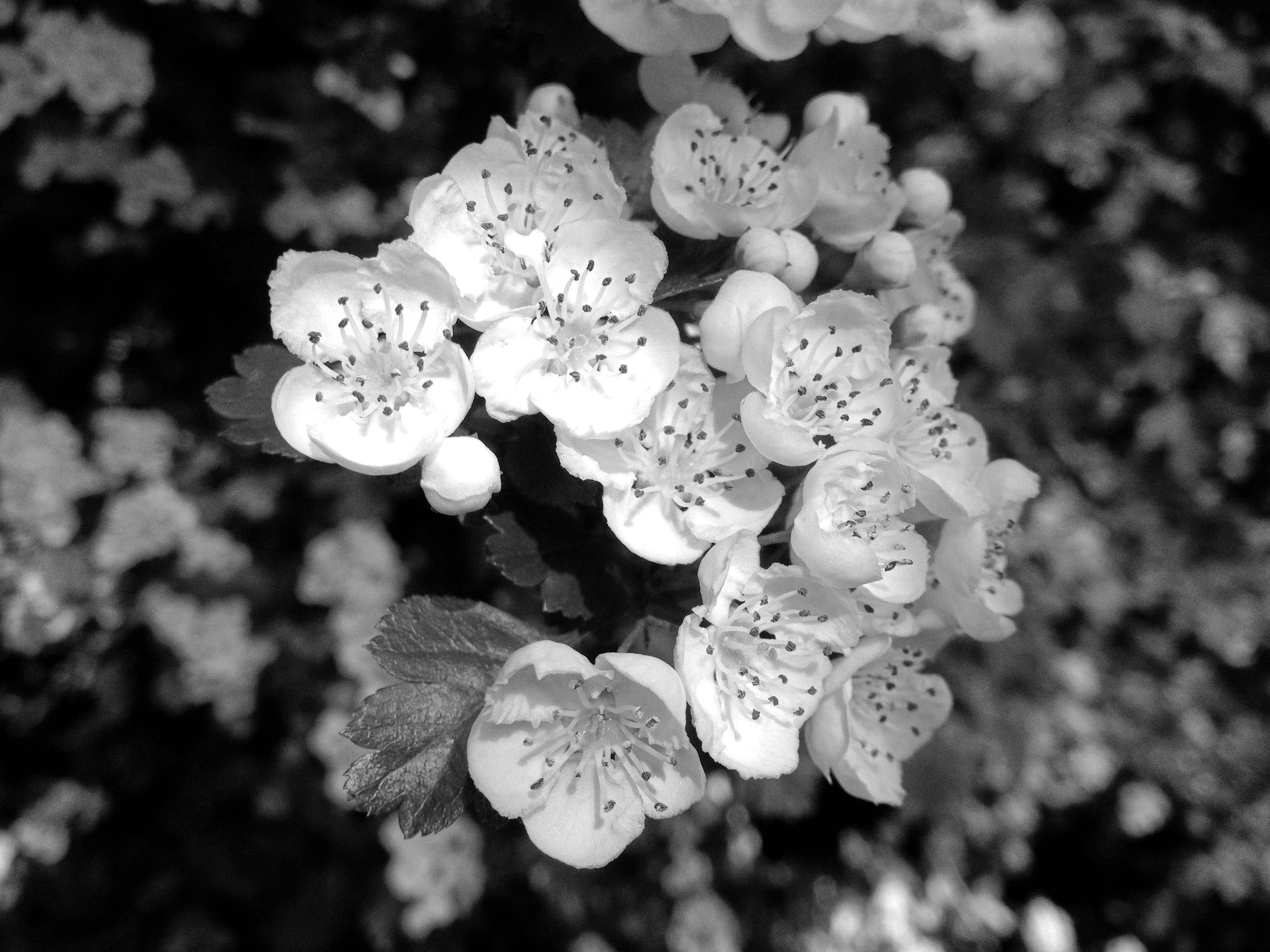 Hawthorn Fables And Flora