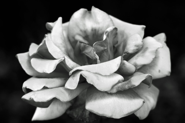 Rose bw 2