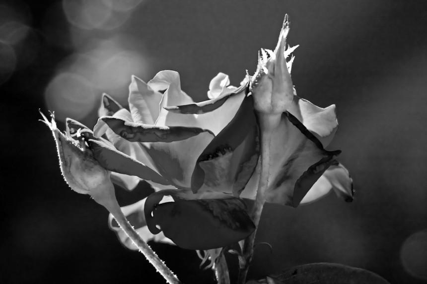 Rose infrared