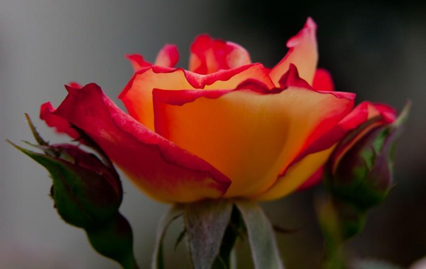 Rose tea bud