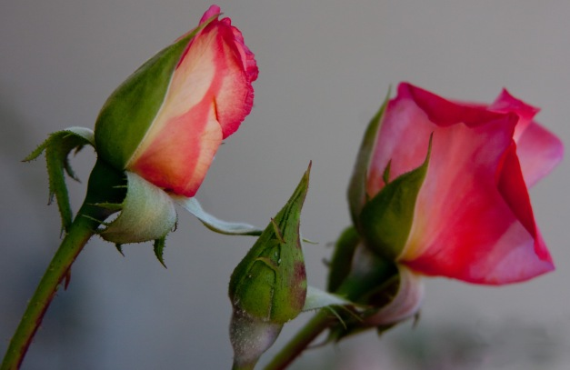Roses peach pink 2