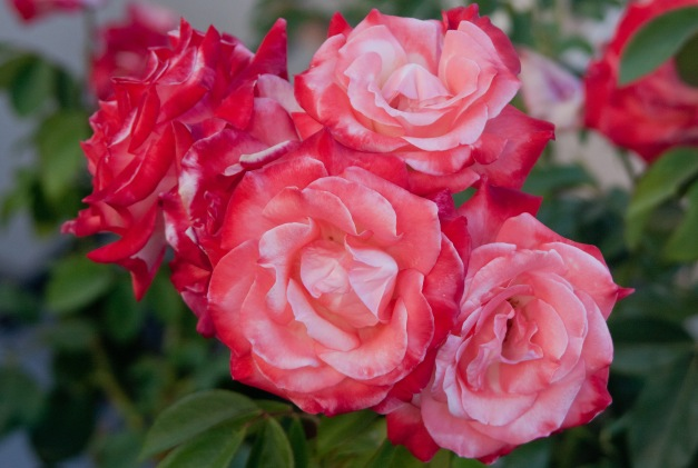 Roses peach pink 3