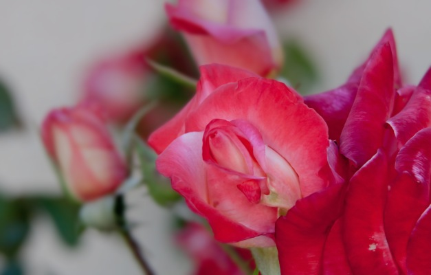 Roses peach pink 4