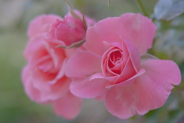 Roses pink trio 2