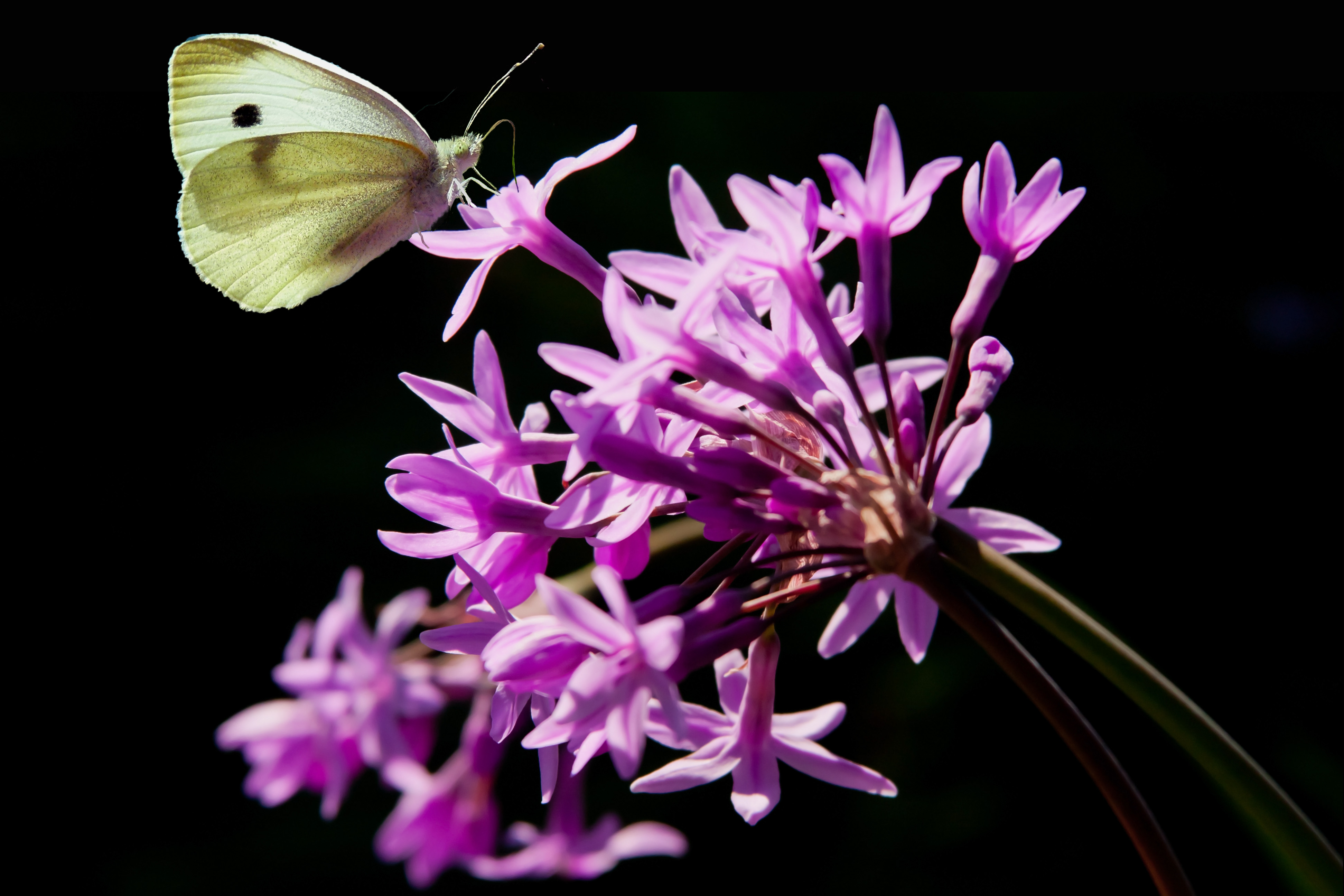 Photography Fables And Flora Page 14 Lidia Butterfly Societ Garlic