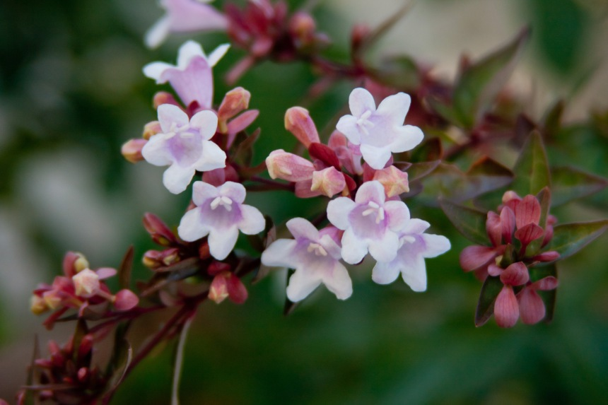 Abelia in the morning