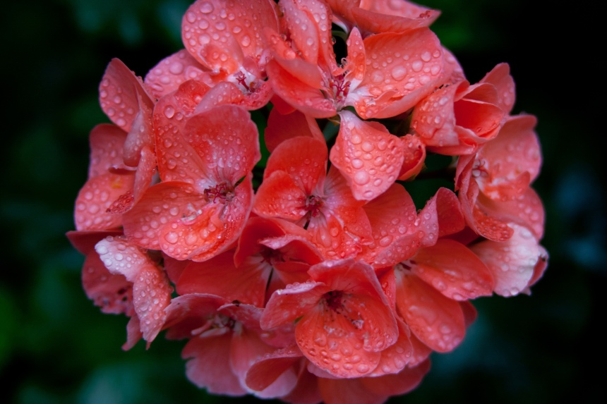 Geranium cluster wet
