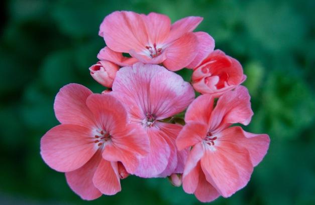 Geranium pink cluster