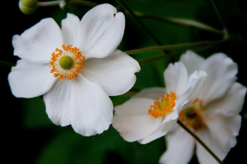 Japanese Anemone 16
