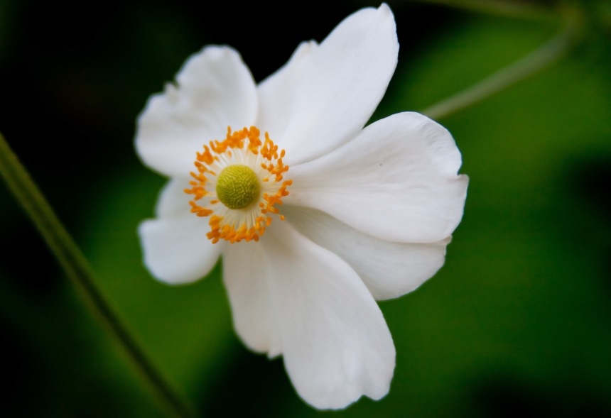 Japanese Anemone 17