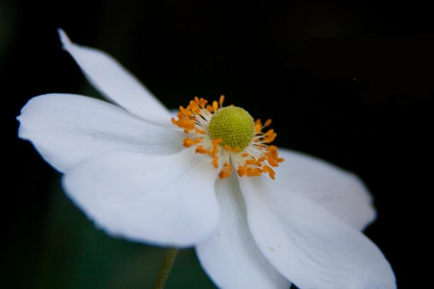 Japanese Anemone 2