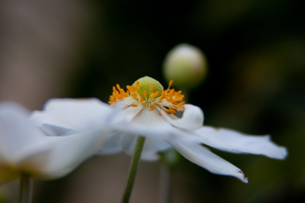 Japanese Anemone 4