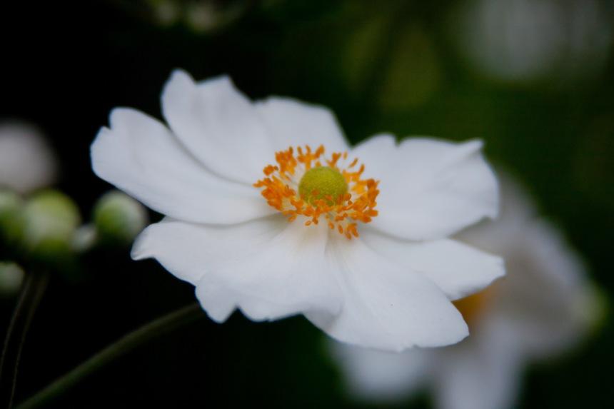 Japanese Anemone 7