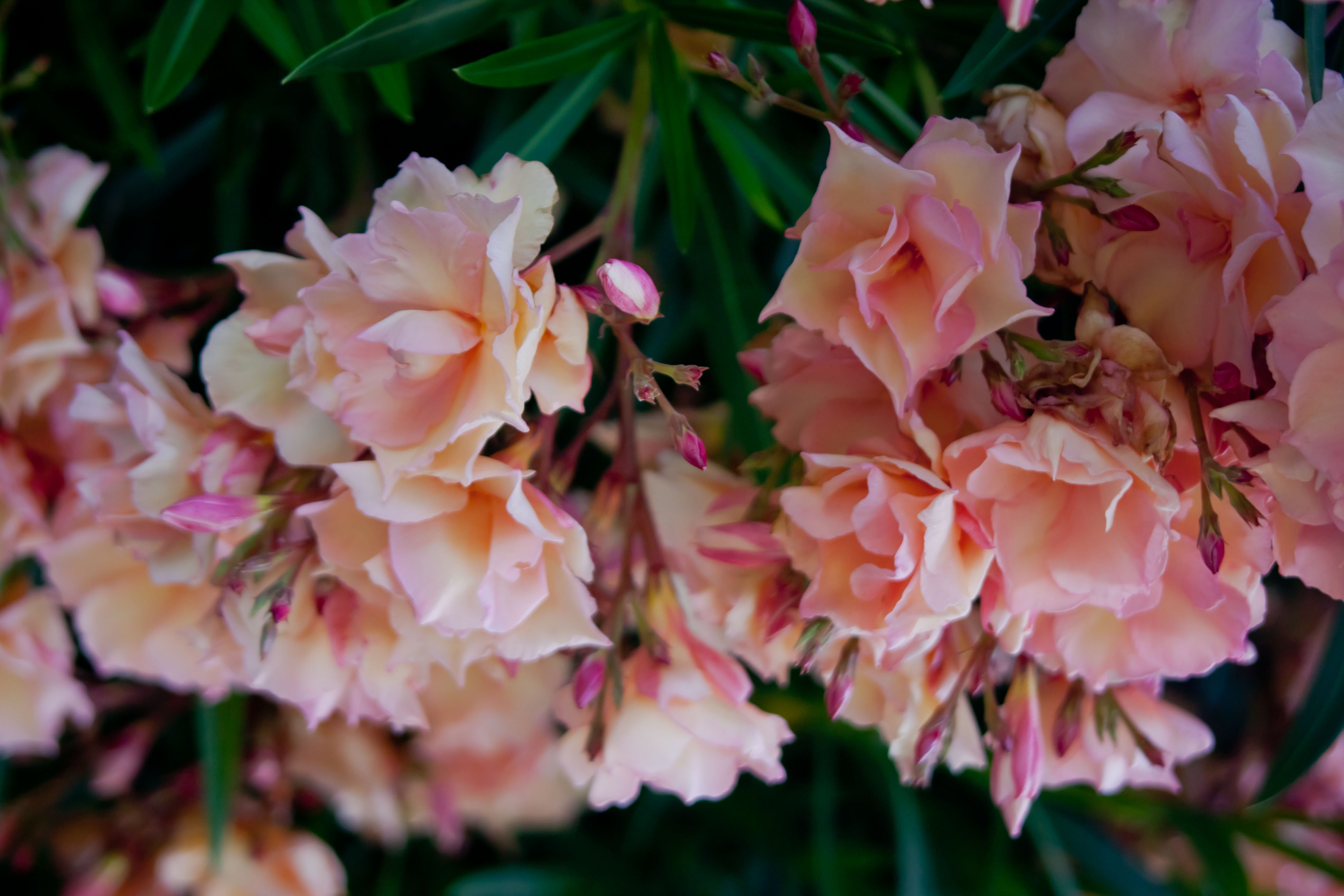Peach Oleander | Fables and Flora