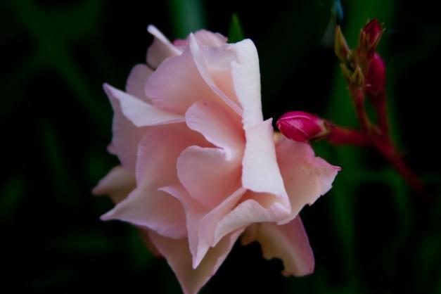 Oleander peach