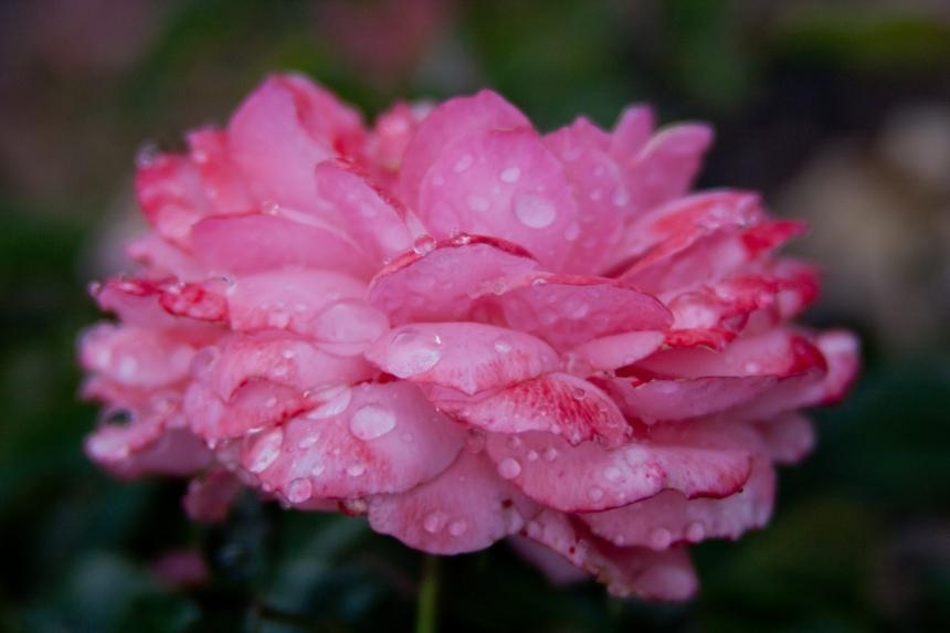 Rose pink rain