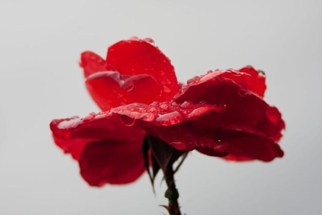 Rose rust wet