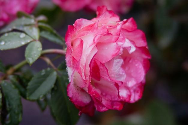 Rose vari wet