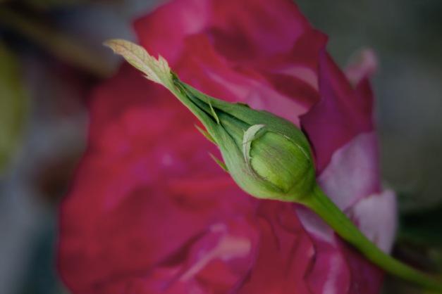 Rosebud over bloom