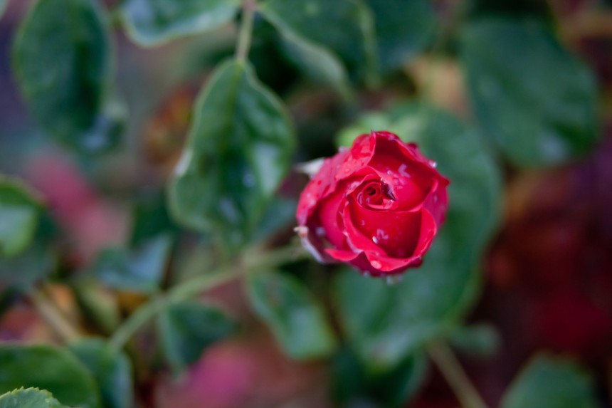 Rosebud red wet