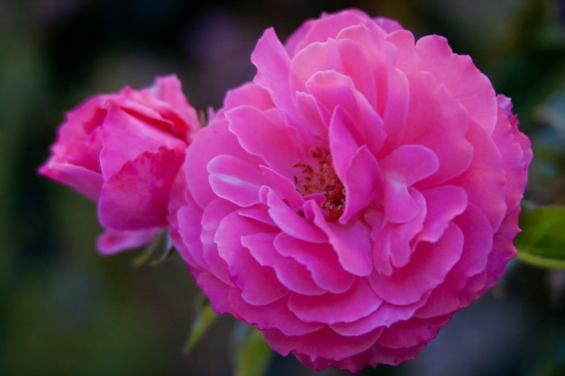 Roses fluffy pink