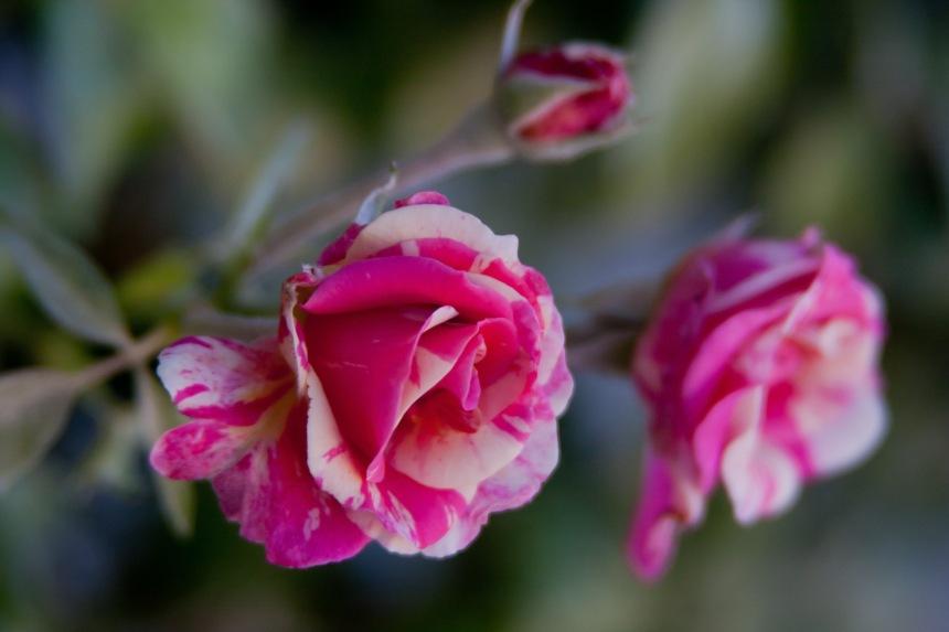 Roses tea hybrid